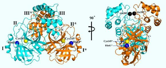 3D structure of SARS-CoV-2 Mpro, in two different views. One protomer of the dimer is shown in light blue, the other one in orange. Domains are labeled by Roman numbers. Amino-acid residues of the catalytic site are indicated as yellow and blue spheres, for Cys145 and His41, respectively. An asterisk marks a residue from protomer B (orange). Black spheres indicate the positions of Ala285 of each of the two domains III. Chain termini are labeled N and C for molecule A (light blue) and N* and C* for molecule B (orange). Image credit: Zhang et al, doi: 10.1126/science.abb3405.