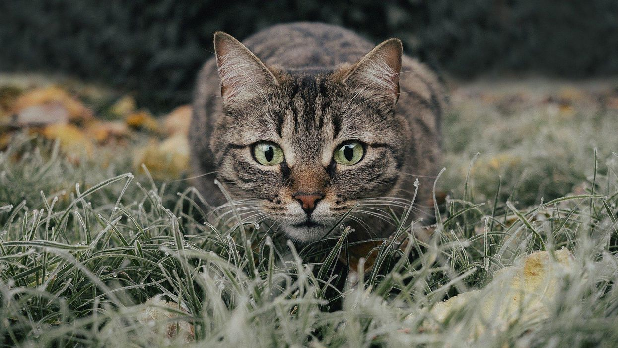 A cat lying in the grass Description automatically generated with medium confidence