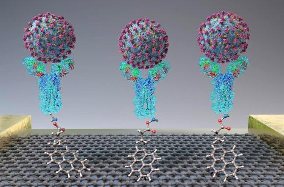 A new test quickly detects SARS-CoV-2 (spheres) through binding to antibodies (Y-shapes) on a field-effect transistor. Image credit: Seo et al, doi: 10.1021/acsnano.0c02823.