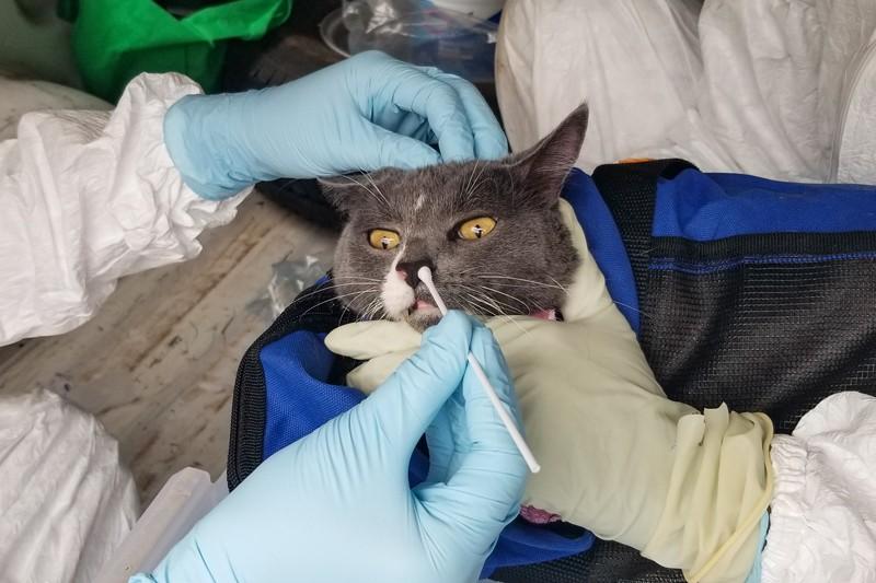 Các nhà nghiên cứu đeo găng tay giữ một con mèo trong chiếc nôi màu xanh lam khi họ lấy mẫu tăm bông