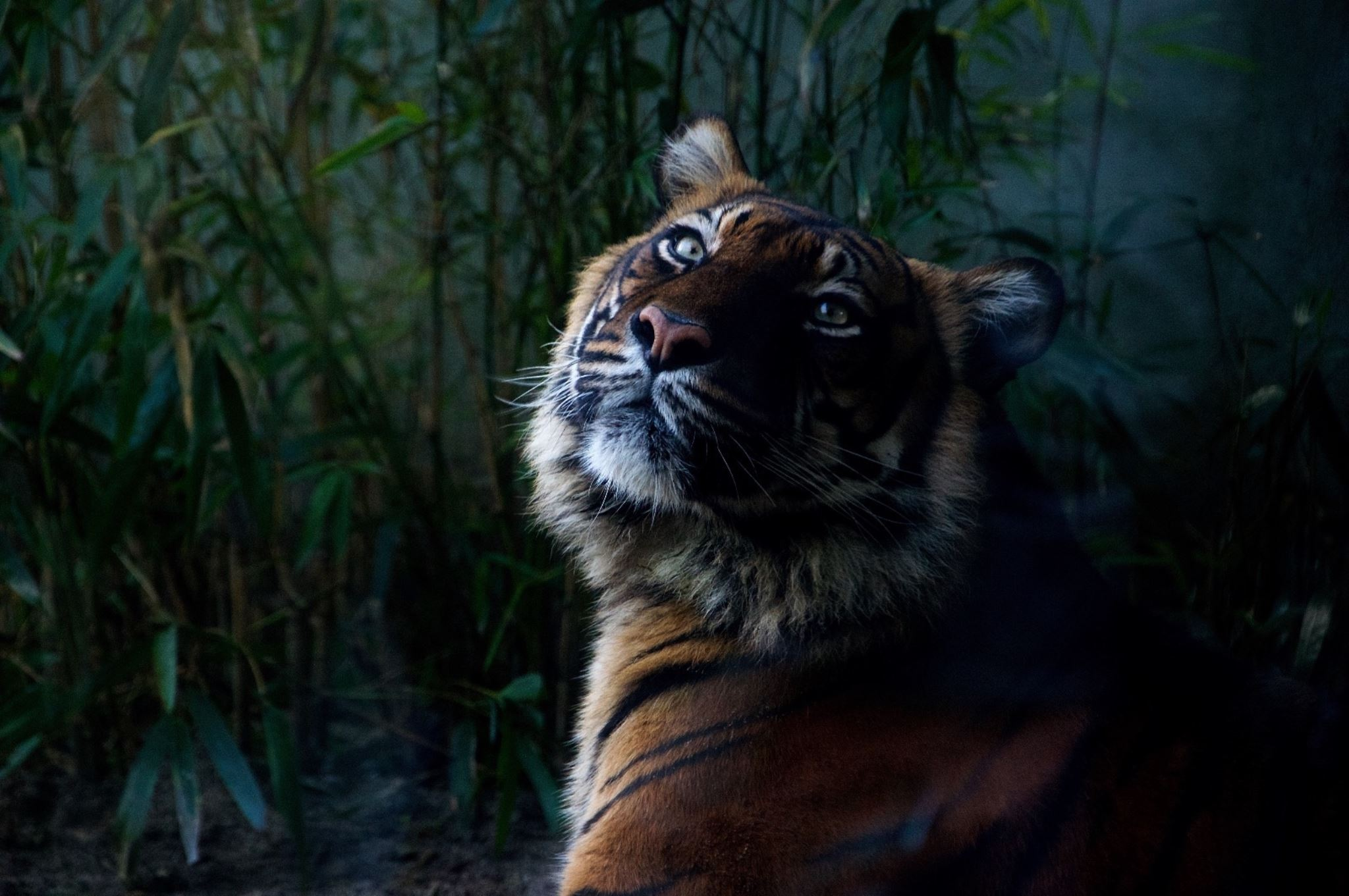 Close-up of a tiger in the forest