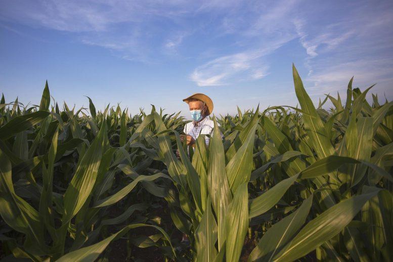 Farmer Examines Corn Crop