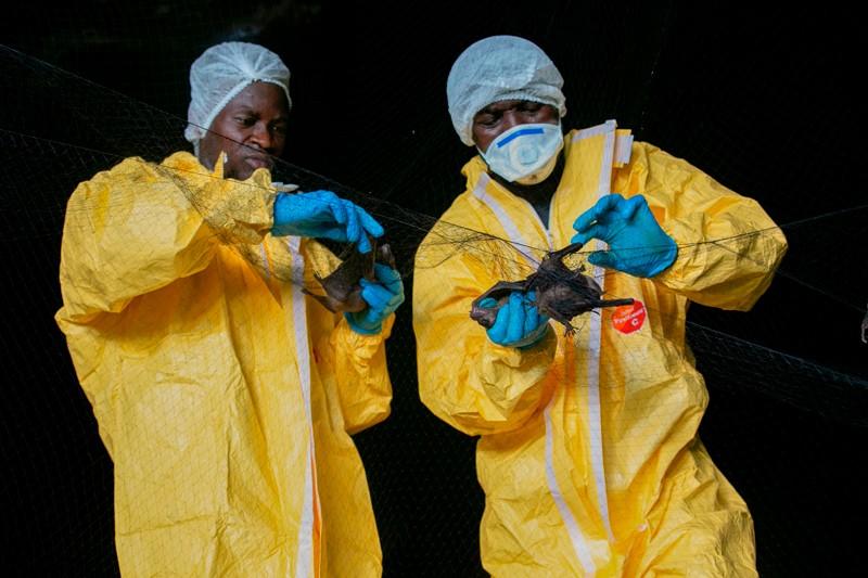 Hai nhà nghiên cứu mặc áo yếm màu vàng thu thập những con dơi bị mắc vào lưới bên trong một hang động ở Gabon