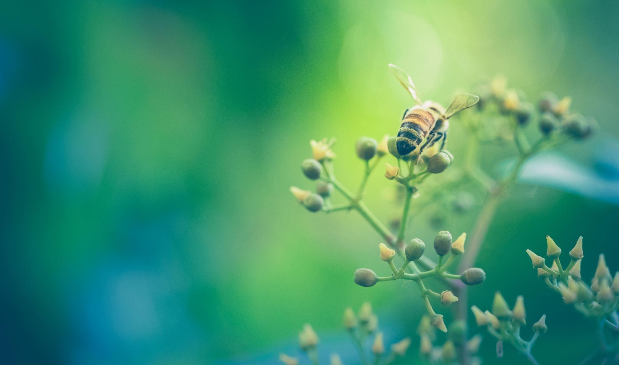 Honeybee gathering nectar