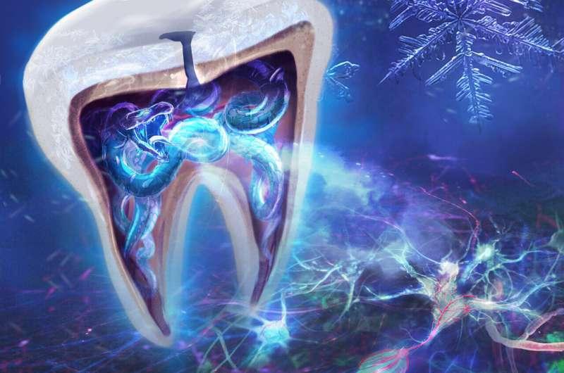 How teeth sense the cold